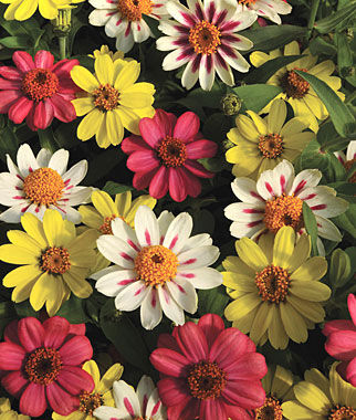 Zinnia, Raspberry Lemonade Mix 12 Plants, Annuals, Annual Flowers, Annual Flower Plants, Flower Plants, Flowering Annuals, Bedding Plants