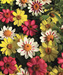 Zinnia, Raspberry Lemonade Mix, , large