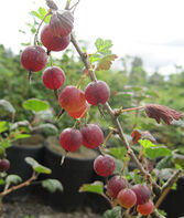 Gooseberry, Hinnomaki Red, , large