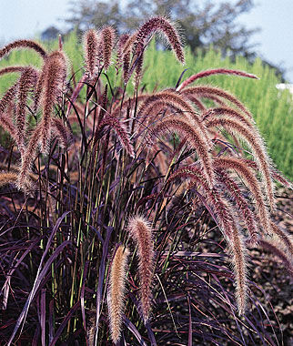 Ornamental Grass, Pennisetum 3 Plants, Annuals, Annual Flowers, Annual Flower Plants, Flower Plants, Flowering Annuals, Bedding Plants