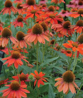 Echinacea, Sombrero Adobe Orange, , large