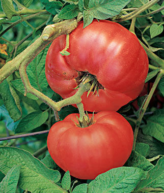 Tomato, Brandywine Red, , large
