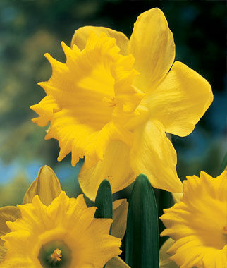 Daffodil, Dutch Master, , large