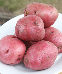 Potato, Red Lasoda, , large