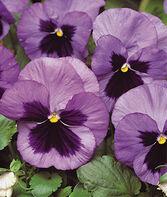 Pansy, Ocean, , large