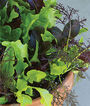Lettuce, Healing Hands Mix, , large