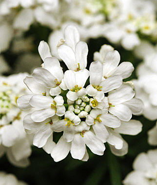 Iberis sempervirens, Whiteout, , large