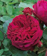 Rose, Falstaff ™, , large