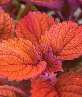 Coleus, Inferno , , large