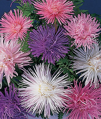 Aster, Fireworks Mixed Colors, , large