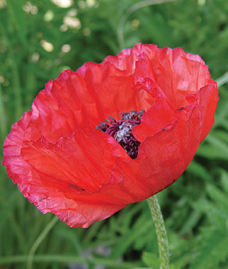 Poppy, Brilliant Red (Oriental), , large