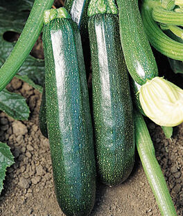 Squash, Summer, Sure Thing Zucchini Hybrid, , large