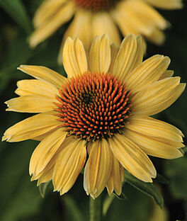 Echinacea, Sandy Yellow PP23104, , large
