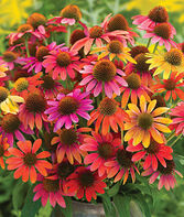 Echinacea, Warm Summer US7,982,110, , large