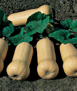 Squash, Winter, Waltham Butternut , , large