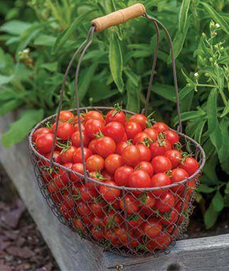 Tomato, Cherry Baby Hybrid 1 Pkt. (25 seeds), Cherry Tomato Seeds, Currant Tomato Seeds, Grape Tomato Seeds, Cherry Tomato, Tomato Seeds