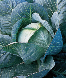 Cabbage, King Slaw Hybrid, , large