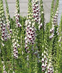 Foxglove, Pam's Choice, , large