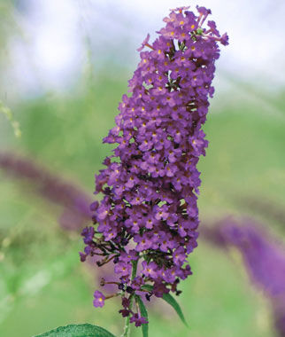 Butterfly Bush, Nanho Purple, , large