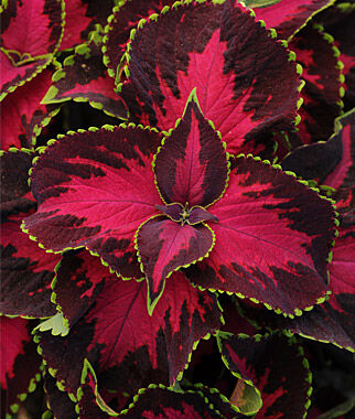 coleus seeds  watermelon coleus, annual flowers at burpee, Beautiful flower
