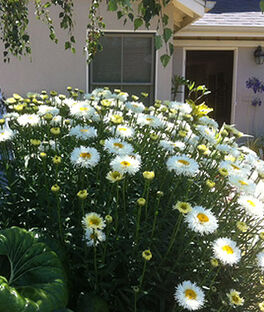 Shasta Daisy, Real Galaxy PPAF, , large