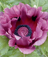 Poppy, Patty's Plum, , large