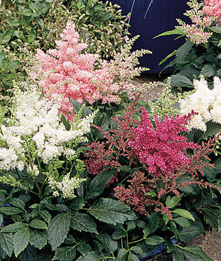 Astilbe, Astary Mix, , large