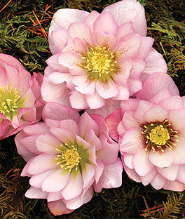 Helleborus, Cotton Candy, , large