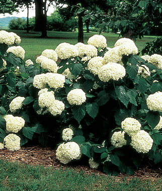 hydrangea arborescens annabelle hydrangeas at. Black Bedroom Furniture Sets. Home Design Ideas