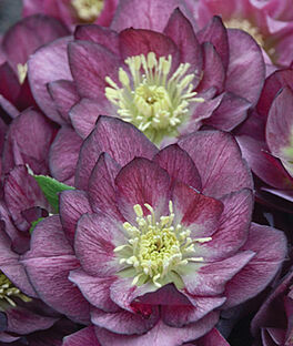 Helleborus, Wedding Party Best Man , , large