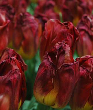 Tulip, Red Gold, , large