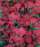 Achillea, Summer Wine, , large