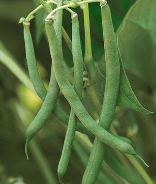 Blue lake 47 bush bean seeds and plants vegetable for Indoor gardening green beans