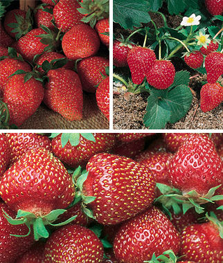 Strawberry, Three Great Strawberries Collection, , large