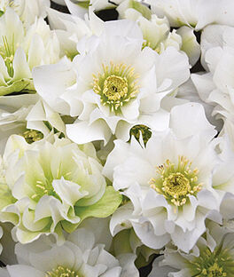 Hellebore, Wedding Party  Wedding Bells, , large