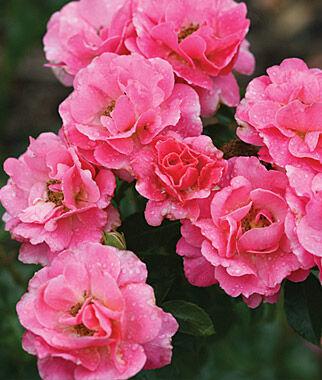Rose, Livin' La Vida® PPAF, , large
