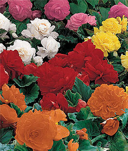 Begonia, Non-Stop Mix, , large