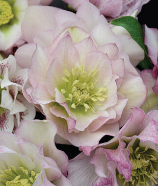 Helleborus, Wedding Party Flower Girl , , large