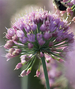 Allium, In Orbit PPAF, , large