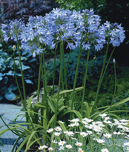 Agapanthus, Blue Heaven , , large