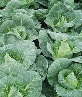 Cabbage, Sweetheart Lettage, Caraflex Hybrid 1 Pkt.(50 Seeds) Cabbage Seeds, Cabbage Seeds, Cabbages Seed, Cabage Seeds, Cabbage, Garden Seeds, Vegetable Seeds
