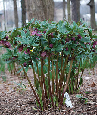 Hellebore, Kingston Cardinal, , large