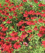 Echinacea, Sombrero Salsa Red, , large