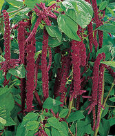 Amaranthus, Love Lies Bleeding, , large