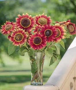 Sunflower, Crimson Blaze , , large