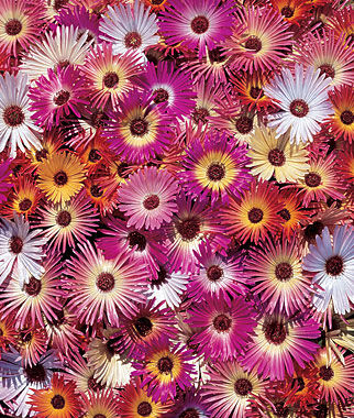 Ice Plant, Harlequin Mix, , large
