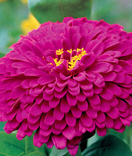 Zinnia, Purple Prince, , large