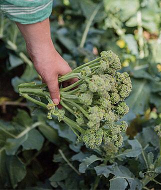 Broccoli, Royal Tenderette Hybrid 1 Pkt. (50 seeds), Broccoli Seeds, Broccoli Seed, Broccoli Raab Seed, Broccoli, Raab, Rapini, Garden Seeds, Vegetable