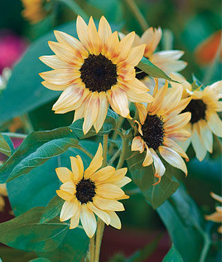 Sunflower, Bashful, , large
