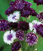 Cornflower, Burgundy Beauties Mix, , large